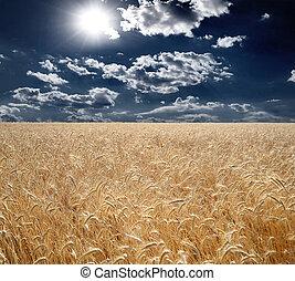 Field of wheat, beautiful sunset, clouds.