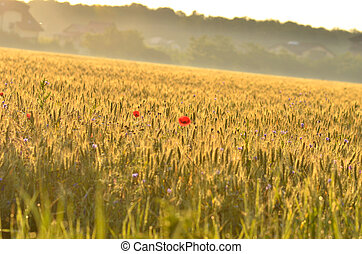 Field of wheat before harvest