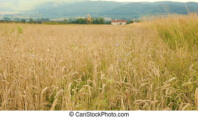 Field of wheat by cloudy day