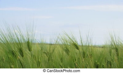 Field of wheat. Close-up