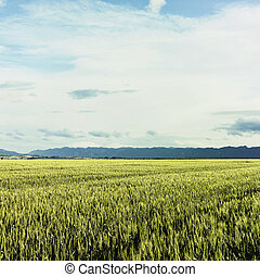 Field of wheat, cloud and mountain