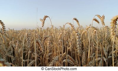 Field of wheat crop, close up. Blue sky background.