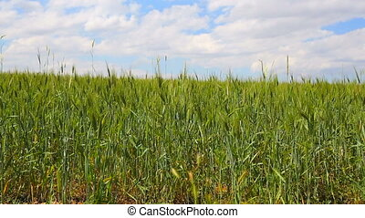 field of wheat background