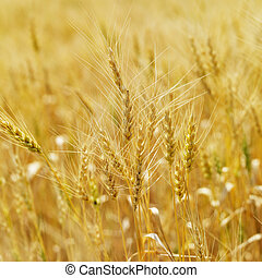 Field of wheat. - Golden field of wheat ready for harvest.