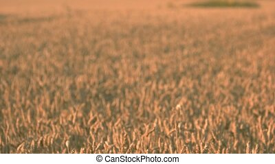Field of wheat harvest. Blurred crop background.