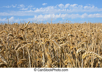 Field of wheat in Sun ready to harvest