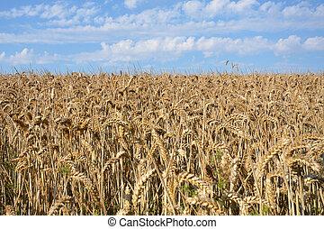 Field of Wheat in sun