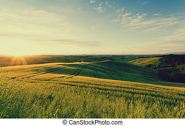 Field of wheat in the rays of the rising sun. Tuscany. Italy