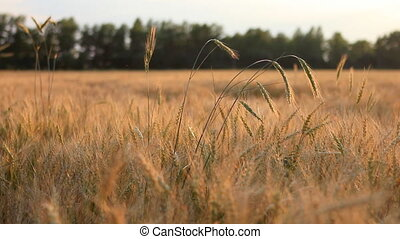 Field of wheat on breeze panning