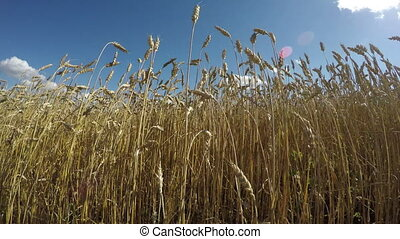 Field of wheat on sunny summer day - Landscape of field of...