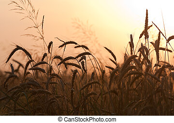 Field of wheat on sunset - A field of wheat soaks up the...
