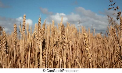 Field of wheat ready to be harvested