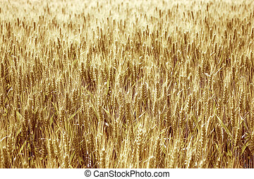 field of wheat spikelets in the sun