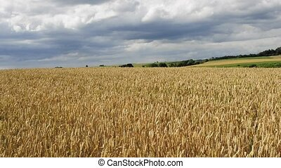wheat - field of wheat