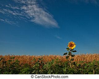 Field of wheat, sunflower