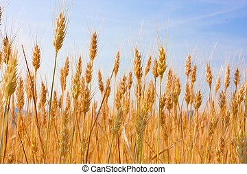 field of wheat - wheat field in july