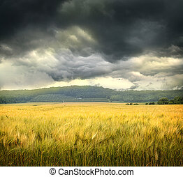 Field of wheat with ominous clouds