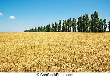 field of wheat with trees under cloudy sky