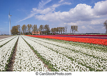 Field of white and orange tulips and a farm