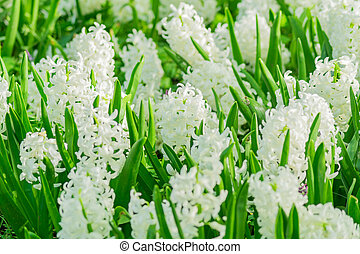field of white blooming hyacinth flowers in spring garden