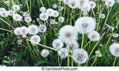 Field of white flowered dandelions. - Field of white...