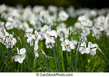 field of white narcissus flowers in spring