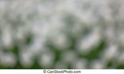 field of white tulips blooming - rack focus