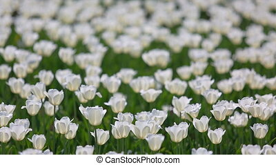 field of white tulips blooming - shallow depth of field