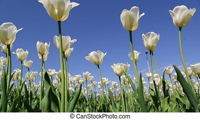 field of white tulips blooming - slider dolly shot