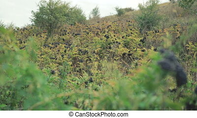 Field of wild blackberry bushes in 4K
