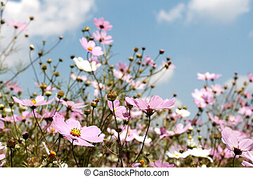 Field of beautiful wild pink and white cosmos flowers in South Africa