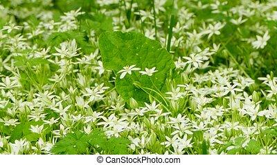 field of wild flowers - field of wild white flowers, wind,...