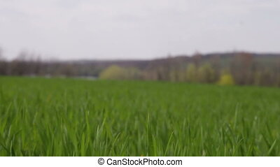 field of winter wheat swaying in the wind