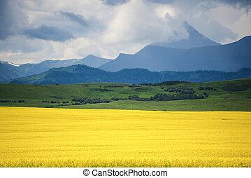 Field of yellow canola