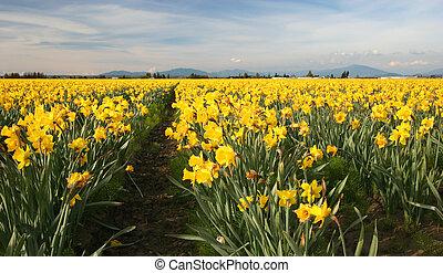 Field of Yellow Daffodils, Pacific Northwest, USA