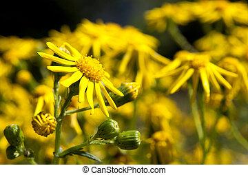 Field of yellow daisy in the dolomiti