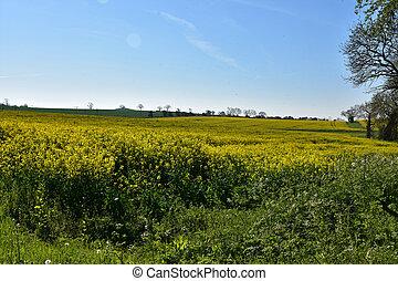 Field of Yellow Flowering Rape Seed in Bloom