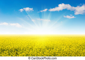Field of yellow flowers and blue sky.