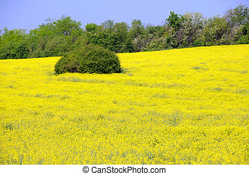 Field of Yellow Lucerne Flowers