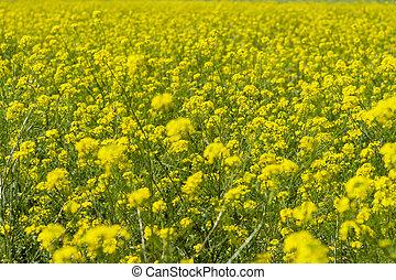 Field of yellow mustard.