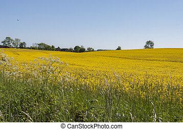 Field of yellow rape flowers in spring