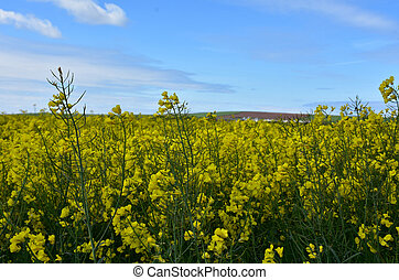 Field of Yellow Rape Seed Flower Blossoms in Spring