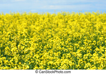 Field of yellow rapeseed or canola flowers