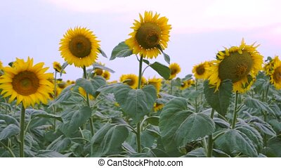 field of yellow sunflowers on a Sunny summer day. RL Pan