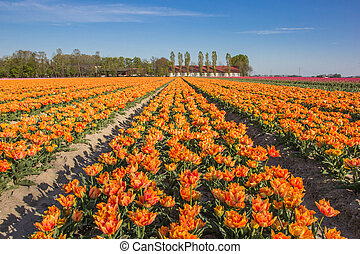 Field of yellow tulips and a farm