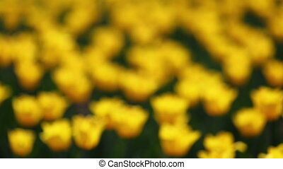 field of yellow tulips blooming - rack focus