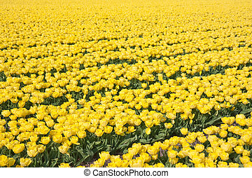 Field of yellow tulips in the Netherlands