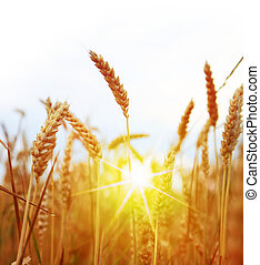 Field of yellow wheat and sun