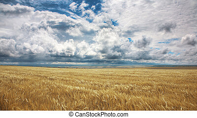 Field of yellow wheat