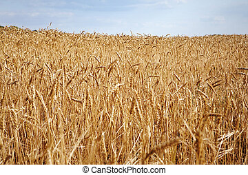 harvesting time - Field of yellow wheat at sunny day,...